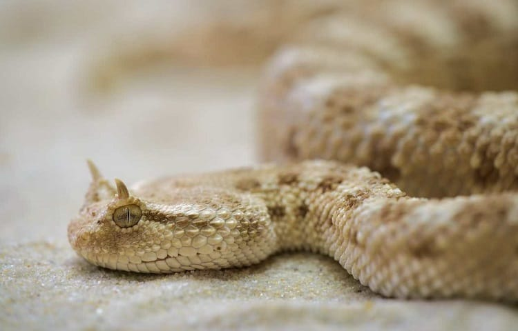 horned viper looks like it has ears