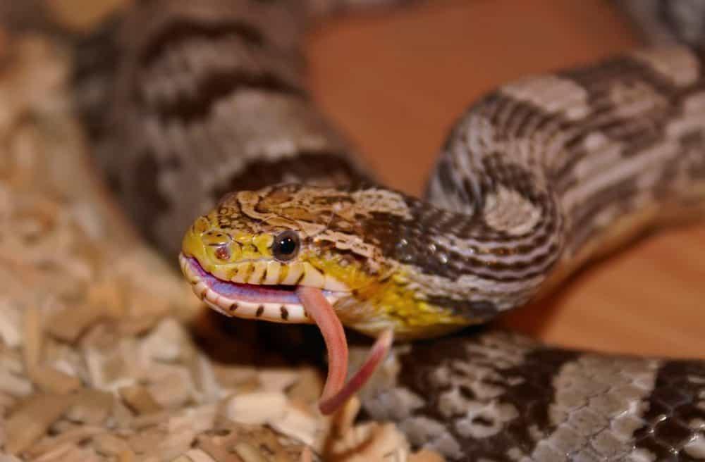 snake eating prey