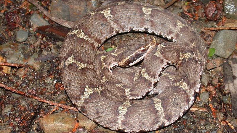 japanese Mamushi snake