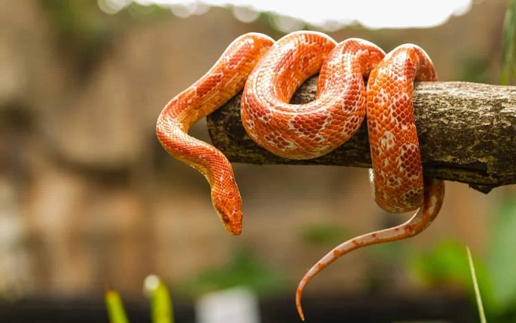 corn snake on branch