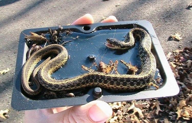 snake in glue trap