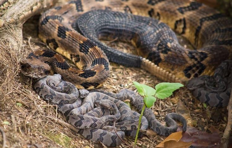 rattlesnake hatchlings