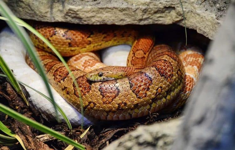stressed snake