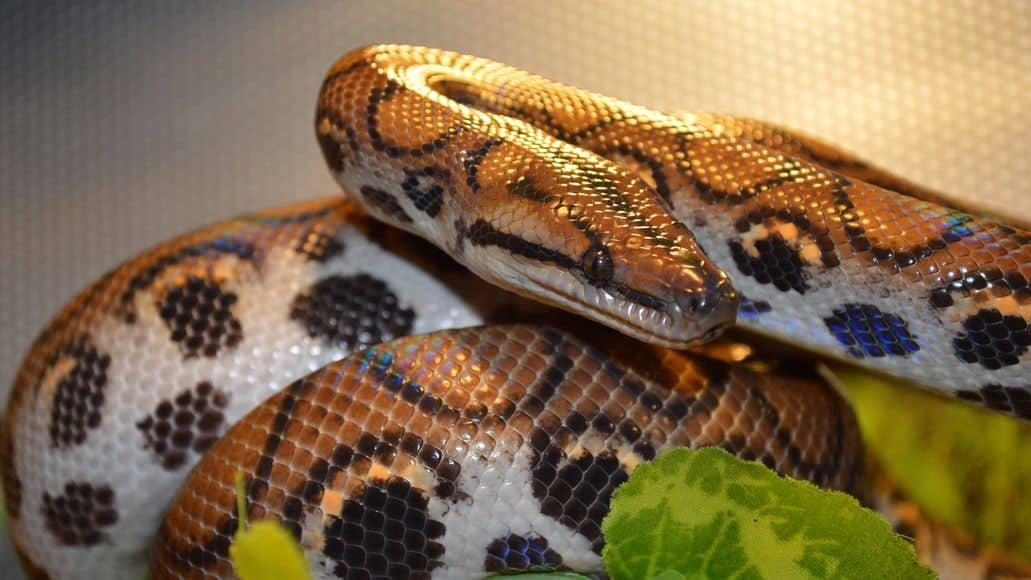 Brazilian rainbow boa in enclosure