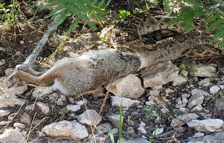 snake eating large rabbit