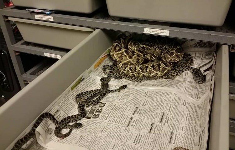 rattlesnakes are social