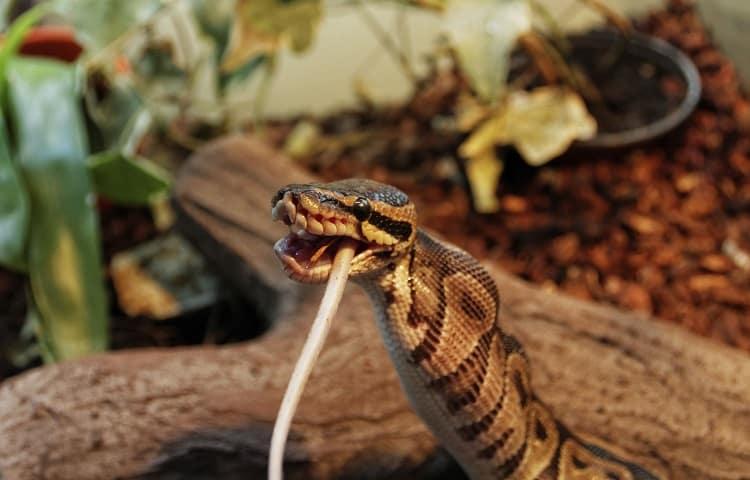 python eating rodent