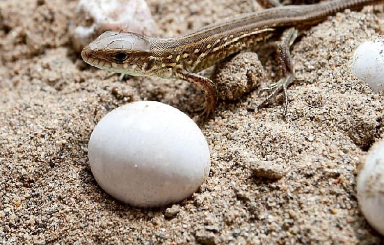 small lizzard egg