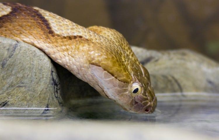 snake drinking