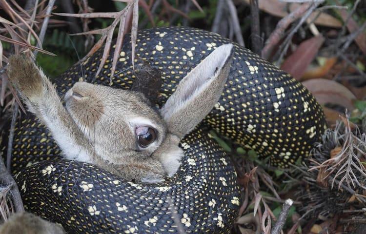 snake eating rabbit