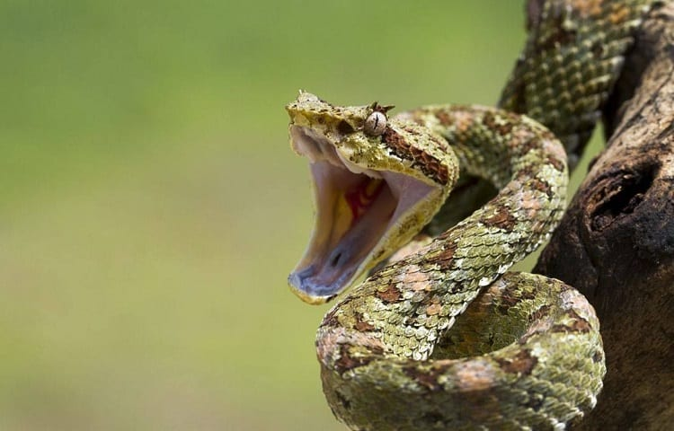 a snake hissing