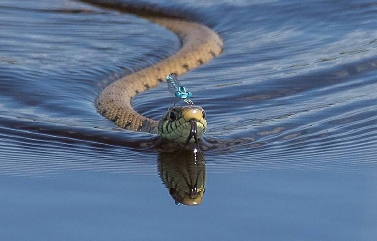 swimming snake floating on the water