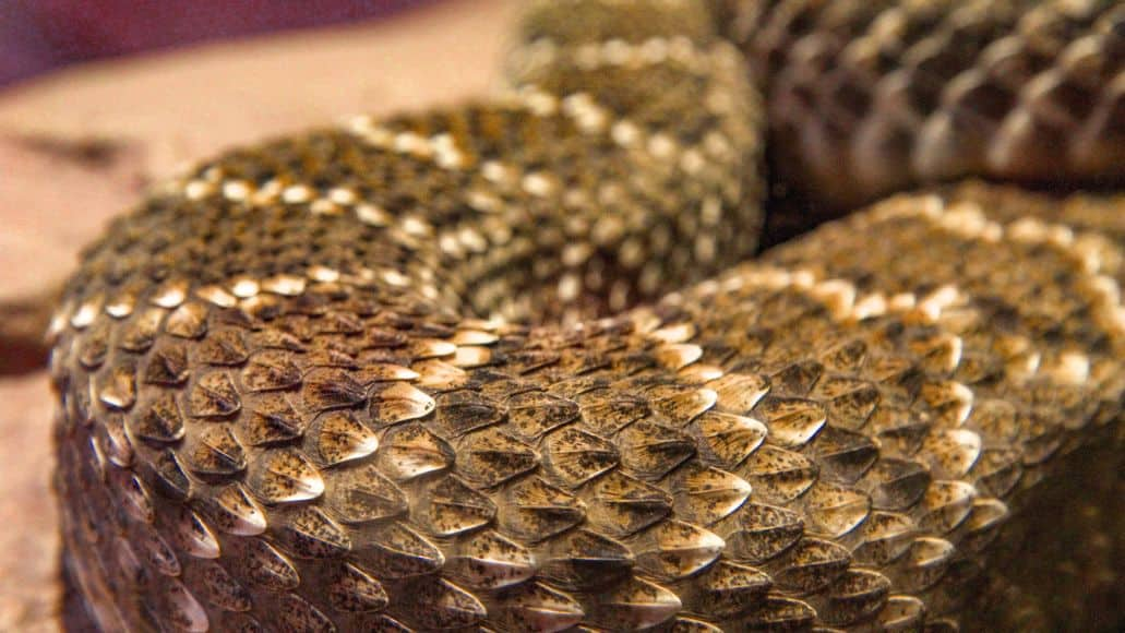 Snake scales closeup