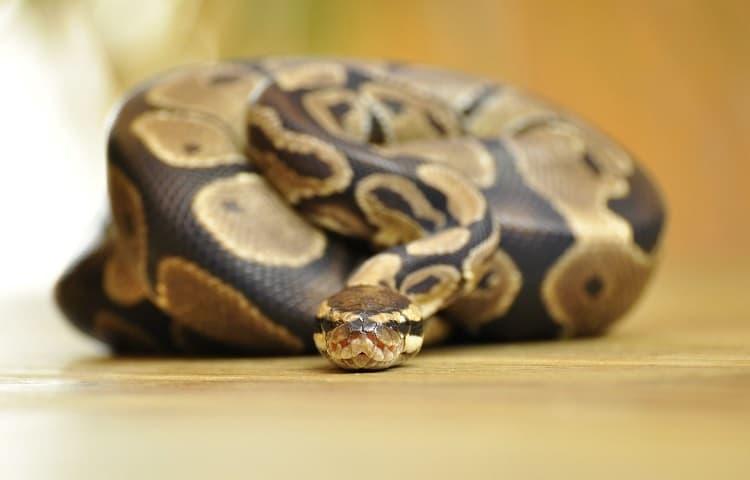snake farting smell