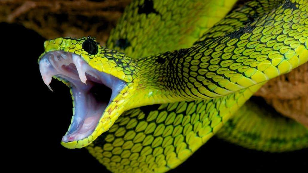 teeth of a venomous viper