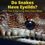 Do Snakes Have Eyelids