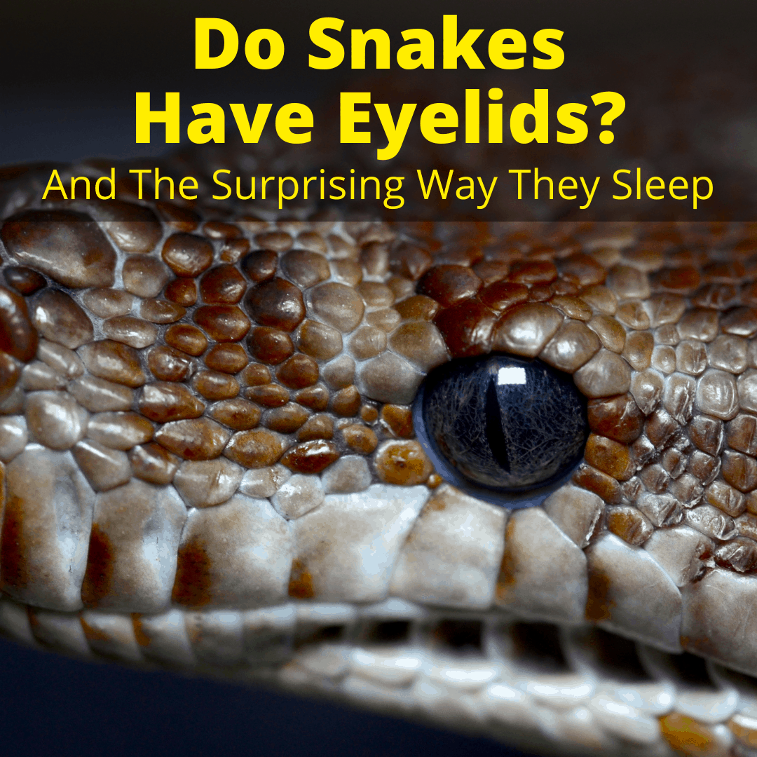 Do Snakes Have Eyelids
