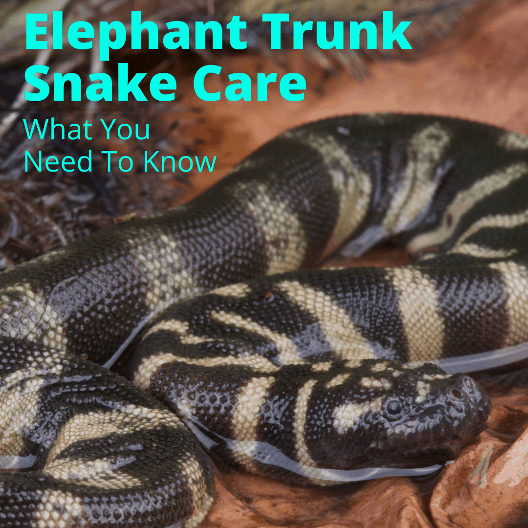 Elephant Trunk Snake Care