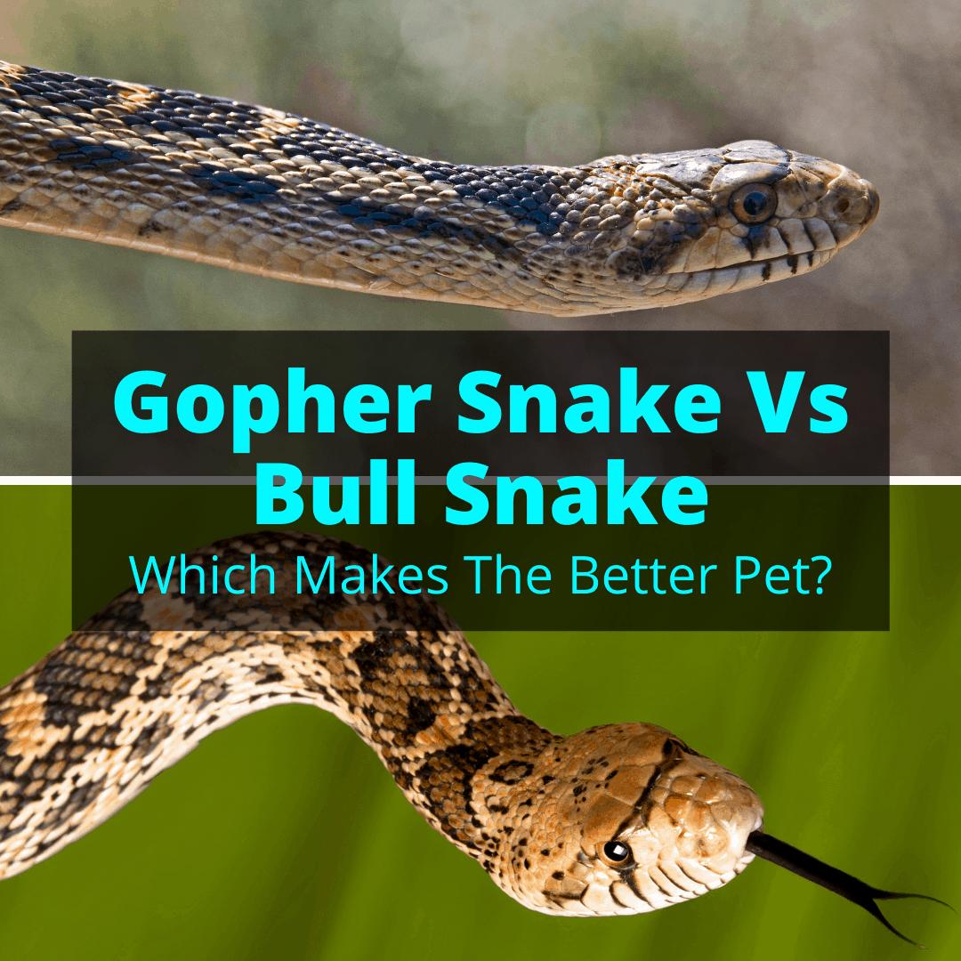 Gopher Snake Vs Bull Snake