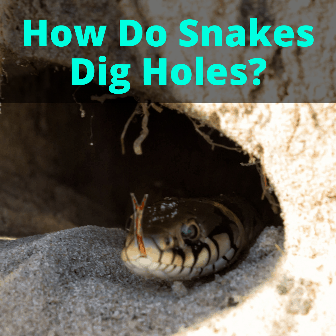 How Do Snakes Dig Holes