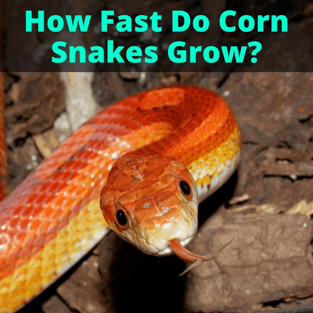 How Fast Do Corn Snakes Grow