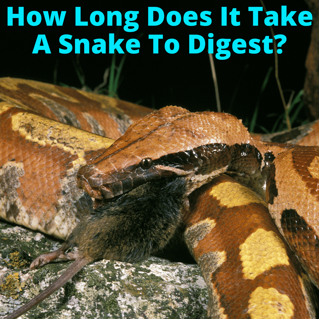 How Long Does It Take A Snake To Digest