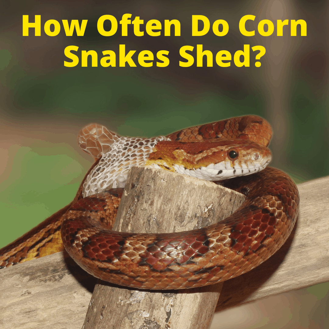 How Often Do Corn Snakes Shed