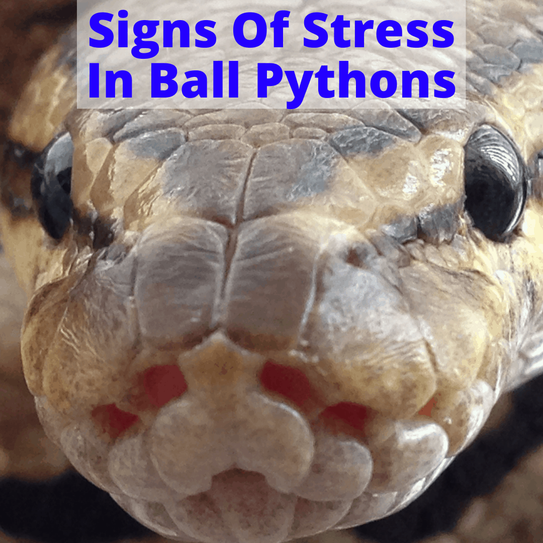 Signs Of Stress In Ball Pythons