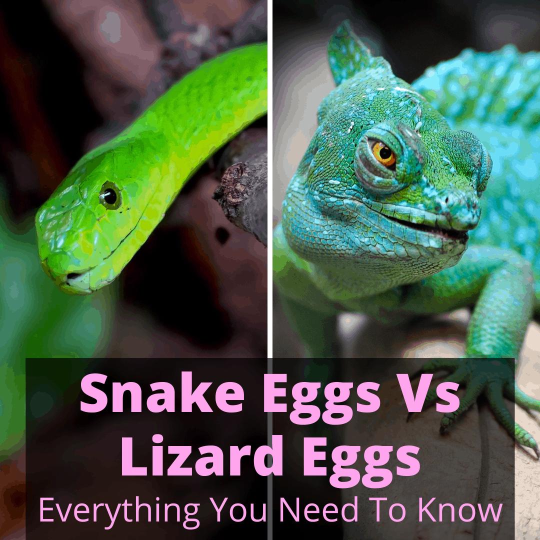Snake Eggs Vs Lizard Eggs