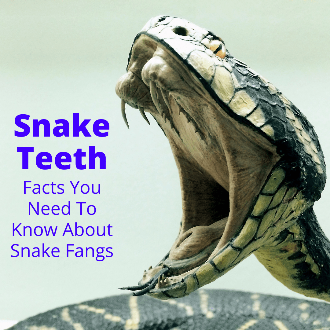 Snake Teeth Facts