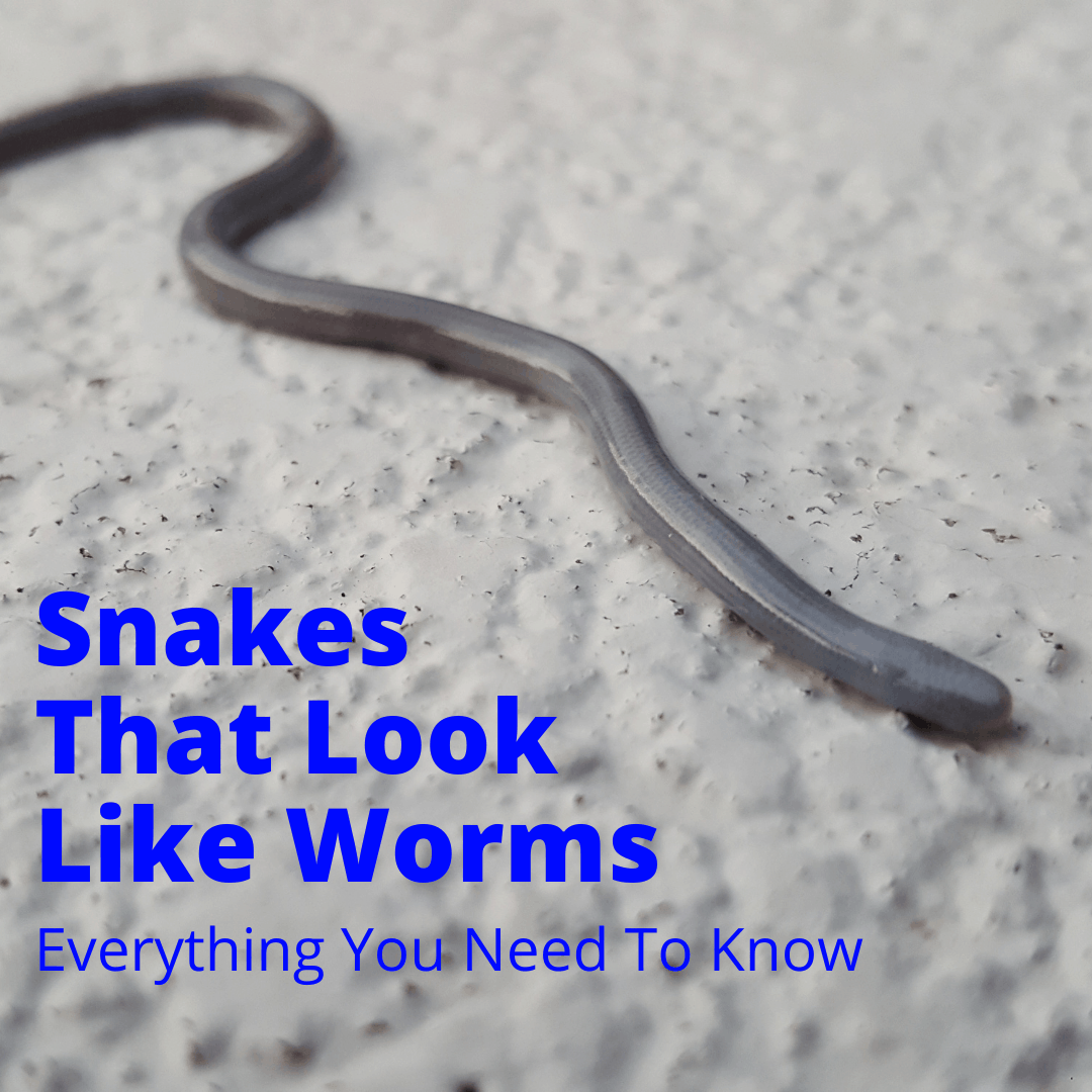Snakes That Look Like Worms