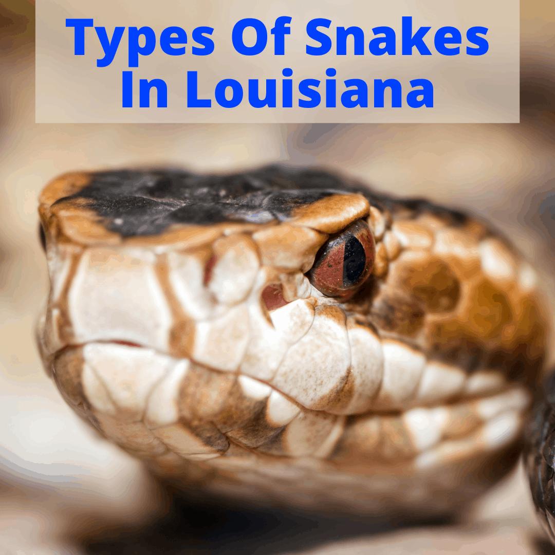 Types Of Snakes In Louisiana