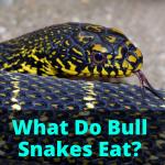 What Do Bull Snakes Eat?