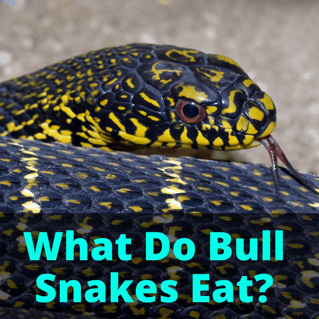 What Do Bull Snakes Eat