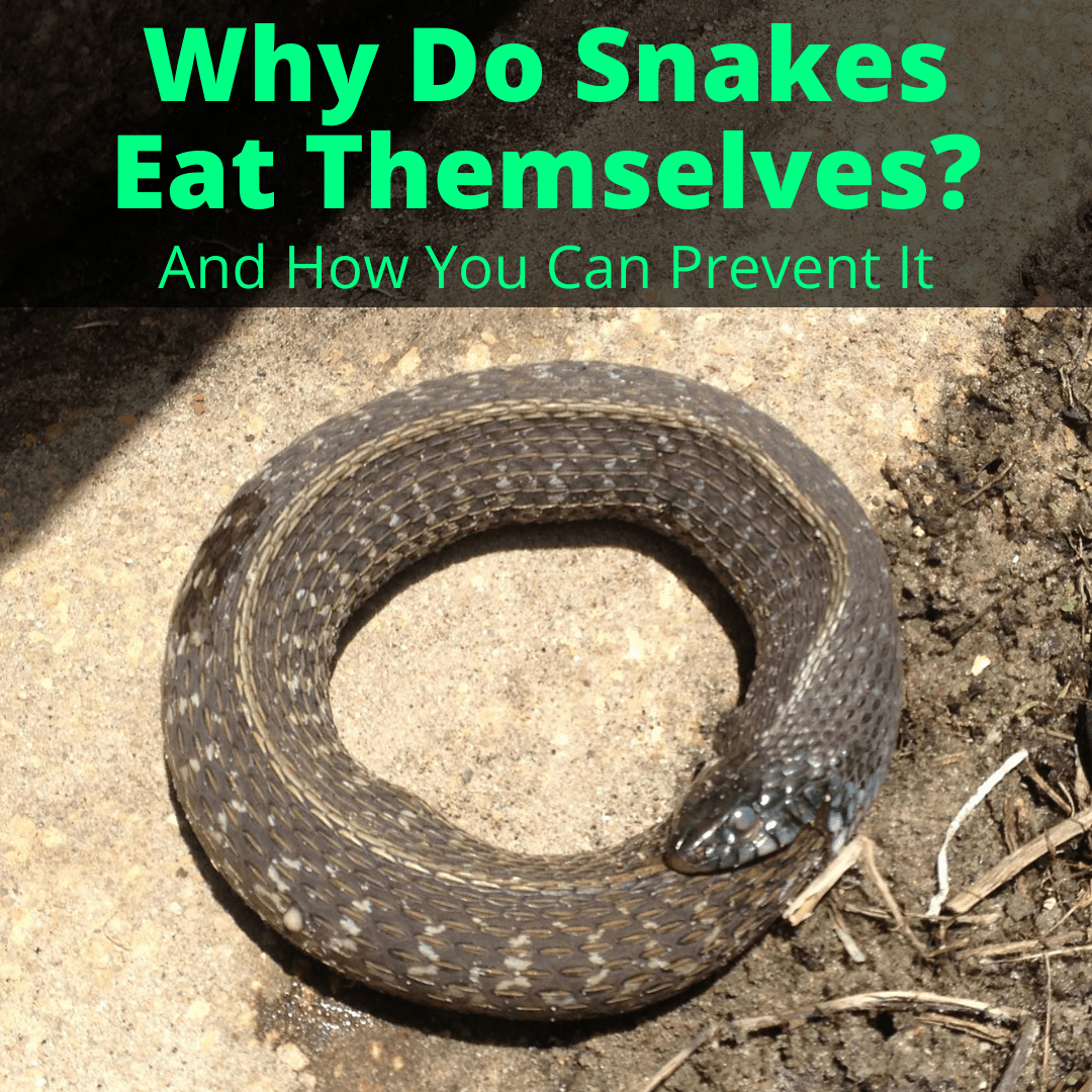 Why Do Snakes Eat Themselves
