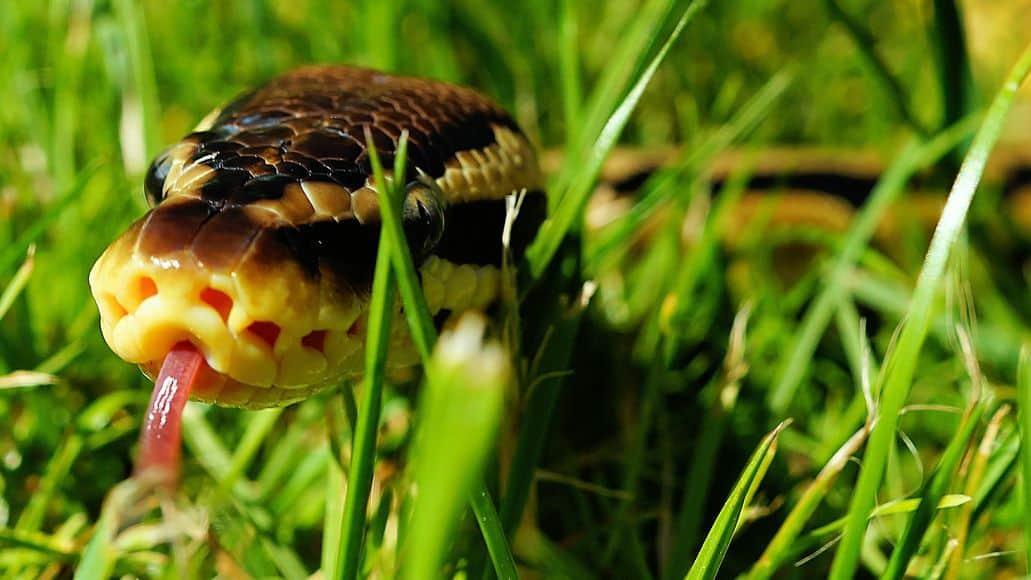 ball python hissing