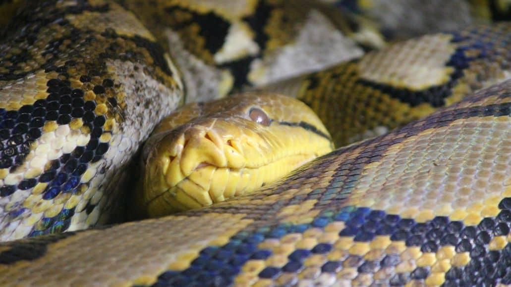 snake with smelly musk glands