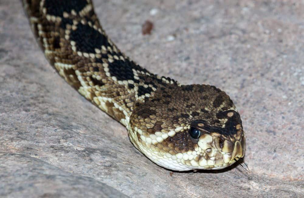 eastern diamond rattlesnake