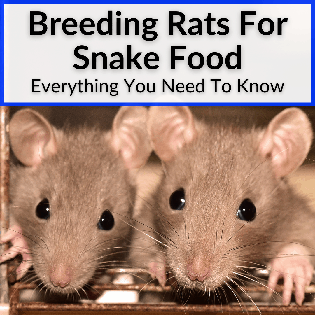 Breeding Rats For Snake Food