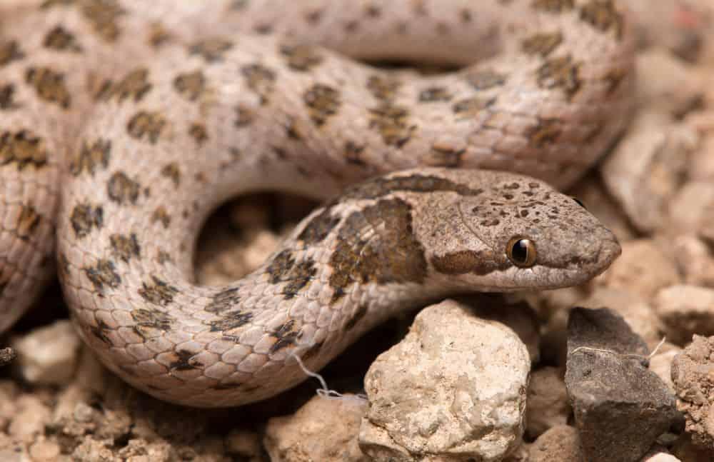 Chihuahuan Night Snake