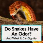 Do Snakes Have An Odor