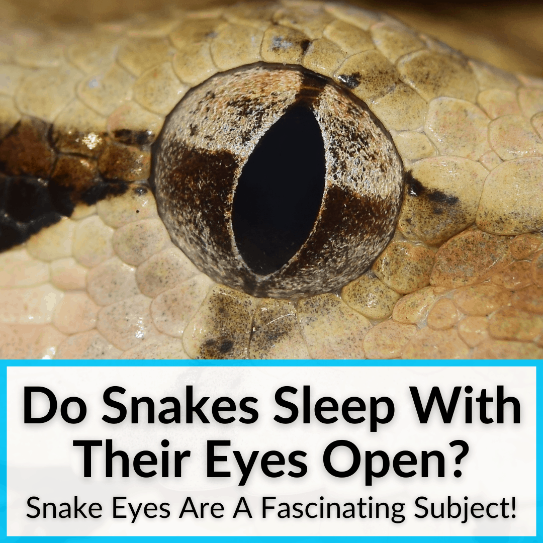 Do Snakes Sleep With Their Eyes Open