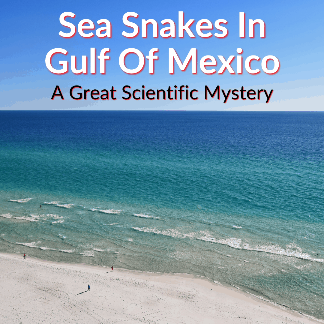 Sea Snakes In Gulf Of Mexico