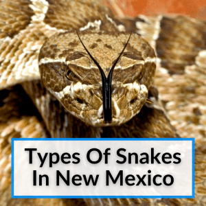 Types Of Snakes In New Mexico