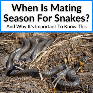 When Is Mating Season For Snakes