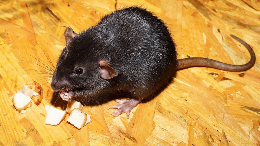 rat eating food