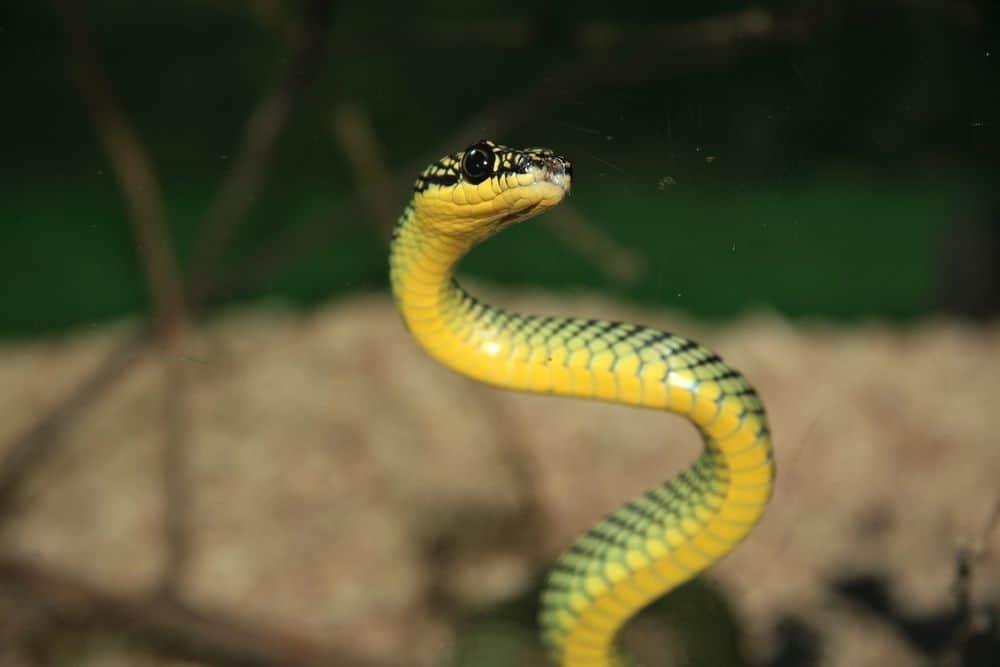 snake jumping