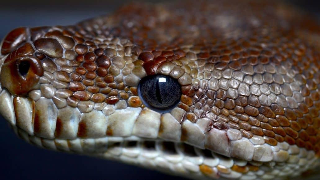 snake not blinking with open eyes