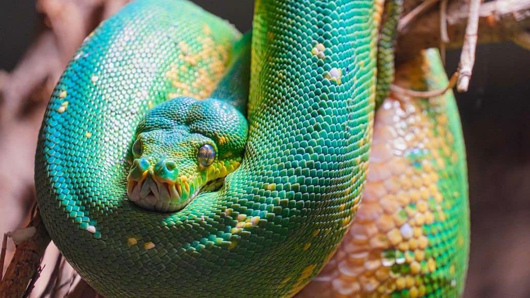 snake sleeping with eyes open
