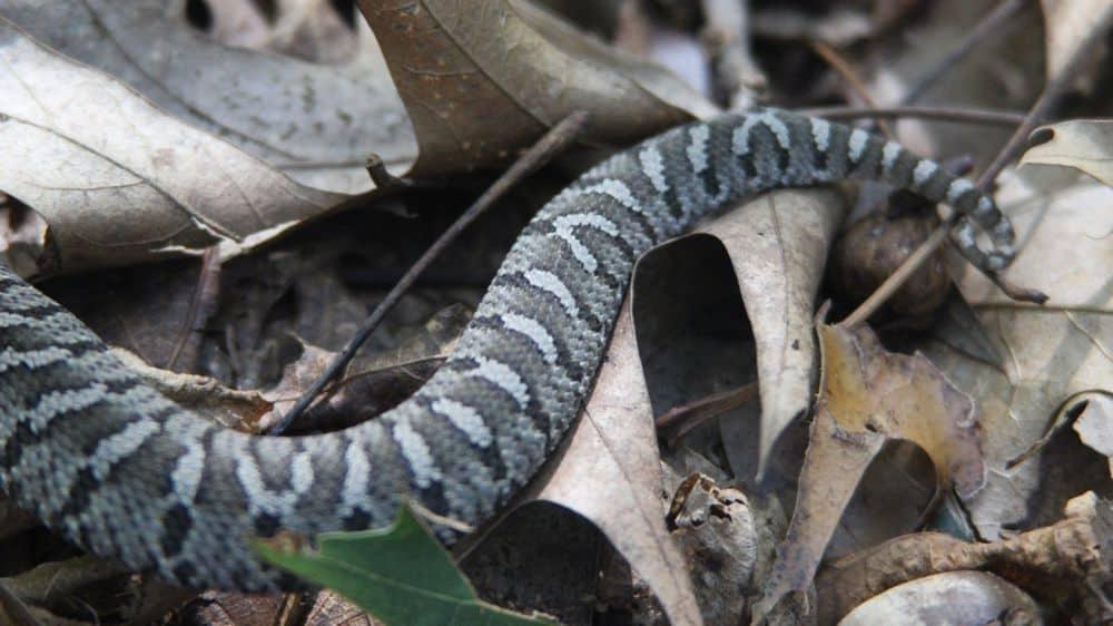 snake tail sex inspection